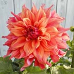 Belle Of Barmera Dahlia Tubers For Sale