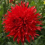 Bloomquist Cayson Dahlia Tubers For Sale