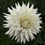 Clearview Edie Dahlia Tubers For Sale