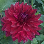 Gilly's Swan Song Dahlia Tubers For Sale