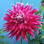 Grand Finale Dahlia Tubers For Sale