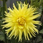 Inland Dynasty Dahlia Tubers For Sale