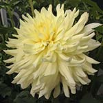 Ivory Palaces Dahlia Tubers For Sale