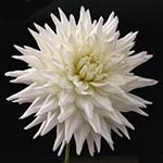 Kenora Clyde Dahlia Tubers For Sale