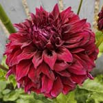 Spartacus Dahlia Tubers For Sale